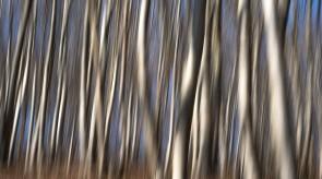 Tanzendebaume_verkl.jpg